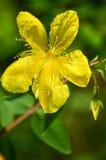 De bloem van Hypericiumcalycinum Royalty-vrije Stock Foto