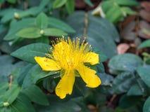 De bloem van Hypericummonogynum Royalty-vrije Stock Afbeeldingen