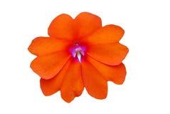 De bloem van Impatiens stock foto's