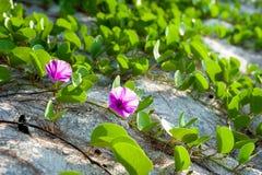 De bloem van Ipomoea pes-caprae Stock Foto