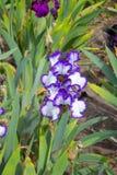 De bloem van de iris Royalty-vrije Stock Foto