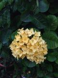 De bloem van Ixora Royalty-vrije Stock Fotografie