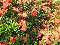 De bloem van Ixora Stock Fotografie