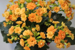 De bloem van Kalanchoe Royalty-vrije Stock Afbeeldingen