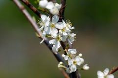 De bloem van kersen Stock Afbeeldingen