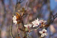 de bloem van de kersenbloesem royalty-vrije stock fotografie