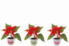 De Bloem van Kerstmis Stock Afbeeldingen