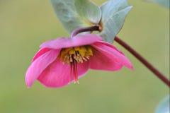 De bloem van Kerstmis nam toe Royalty-vrije Stock Foto