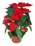 De Bloem van Kerstmis van poinsettia Stock Afbeeldingen
