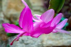 De bloem van de Kerstmiscactus in een serre stock foto's