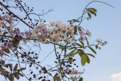 De bloem van de koningin, de rouwbandmirte van de Koningin of Lagerstroemia-macrocarpamuur royalty-vrije stock foto's
