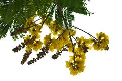 De bloem van de koperpeul royalty-vrije stock foto