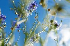 De bloem van de kosmos en de hemel Stock Afbeeldingen