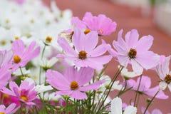 De bloem van kosmosbipinnatus in tuin Stock Fotografie