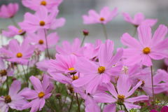 De bloem van kosmosbipinnatus in tuin Stock Foto's