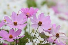 De bloem van kosmosbipinnatus in tuin Royalty-vrije Stock Afbeeldingen