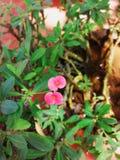 De bloem van kroon van doornen royalty-vrije stock afbeeldingen