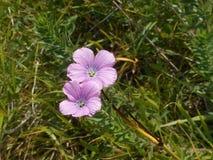 De bloem van kruidrobert met lichtpaarse bloesem royalty-vrije stock foto's