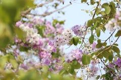 De bloem van Lagerstroemialoudonii of Lagerstroemia-floribunda van blo Royalty-vrije Stock Afbeelding