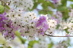 De bloem van Lagerstroemialoudonii of Lagerstroemia-floribunda van blo Royalty-vrije Stock Afbeeldingen