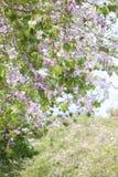 De bloem van Lagerstroemialoudonii of Lagerstroemia-floribunda van blo Stock Afbeelding