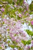 De bloem van Lagerstroemialoudonii of Lagerstroemia-floribunda van blo Royalty-vrije Stock Foto's