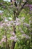 De bloem van Lagerstroemialoudonii of Lagerstroemia-floribunda van blo Stock Afbeeldingen