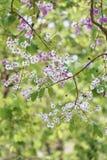 De bloem van Lagerstroemialoudonii of Lagerstroemia-floribunda van blo Stock Fotografie