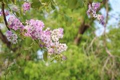 De bloem van Lagerstroemialoudonii of Lagerstroemia-floribunda van blo Royalty-vrije Stock Foto