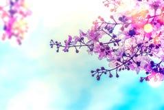 De bloem van Lagerstroemiaspeciosa met blauwe hemelachtergrond royalty-vrije stock foto