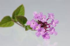 De bloem van Lantana Stock Foto's