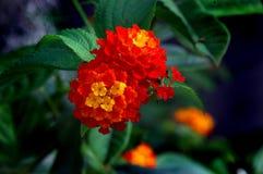De Bloem van Lantana Royalty-vrije Stock Foto's