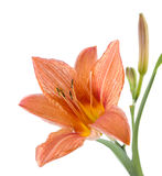 De bloem van lelie is geel op een witte achtergrond Stock Fotografie
