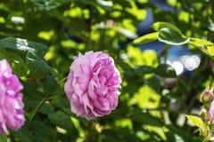 De bloem van leven die nam op een vage achtergrond toe tot bloei komen Royalty-vrije Stock Afbeelding