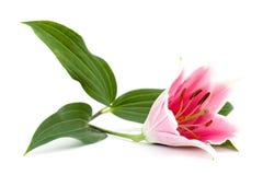 De bloem van Lilly Stock Afbeeldingen