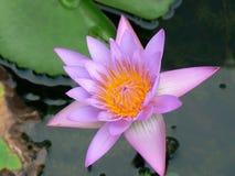 De Bloem van Lotus Royalty-vrije Stock Afbeelding