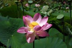 De Bloem van Lotus Stock Afbeeldingen
