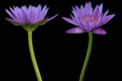 De bloem van Lotus Stock Fotografie