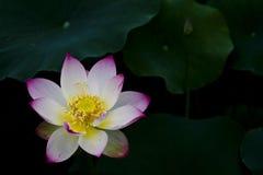 De bloem van Lotus Stock Foto's