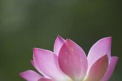 De Bloem van Lotus Royalty-vrije Stock Afbeeldingen