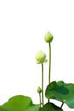 De bloem van Lotus die op wit wordt geïsoleerdv Stock Afbeeldingen