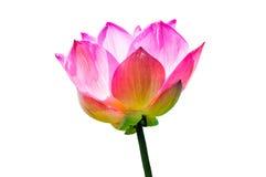De bloem van Lotus die op witte achtergrond wordt geïsoleerdd Stock Afbeelding