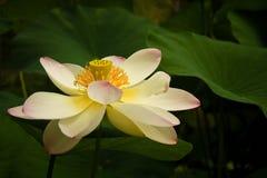 De bloem van Lotus en groene bladeren Stock Afbeeldingen