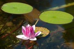 De bloem van Lotus met libel Stock Afbeeldingen