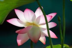 De bloem van Lotus onder zonlicht Stock Afbeeldingen
