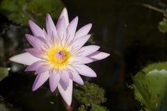 De Bloem van Lotus op een Vijver stock foto