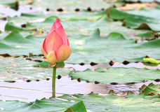 De bloem van Lotus in vijver Stock Foto
