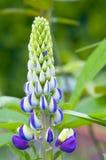 De bloem van Lupine Royalty-vrije Stock Foto