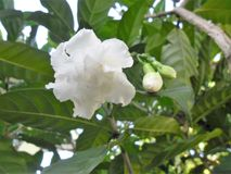 De bloem van de Malabarjasmijn in een Venezolaanse tuin royalty-vrije stock foto