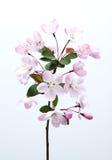 De bloem van Malushalliana in de lente Royalty-vrije Stock Fotografie